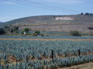 800px-Agave_fields_hill