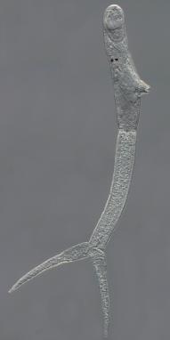 Trichobilharzia-regenti-cercaria