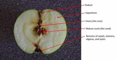 anatomy-of-an-apple-a-short-study-L-2mS7aS